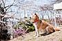桜、ふたたびの加奈子の画像6
